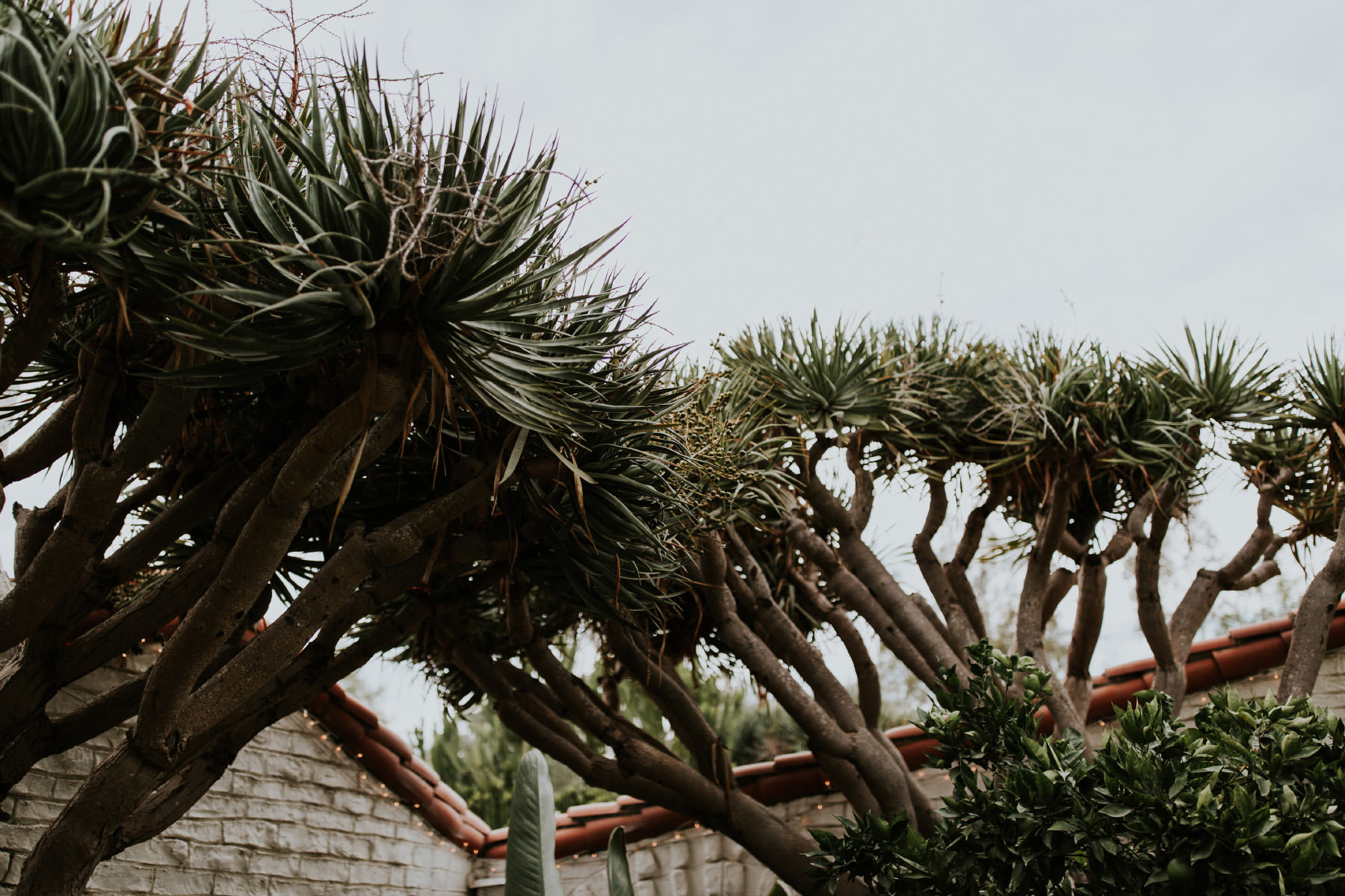 Yucca trees at Leo Carrillo Ranch