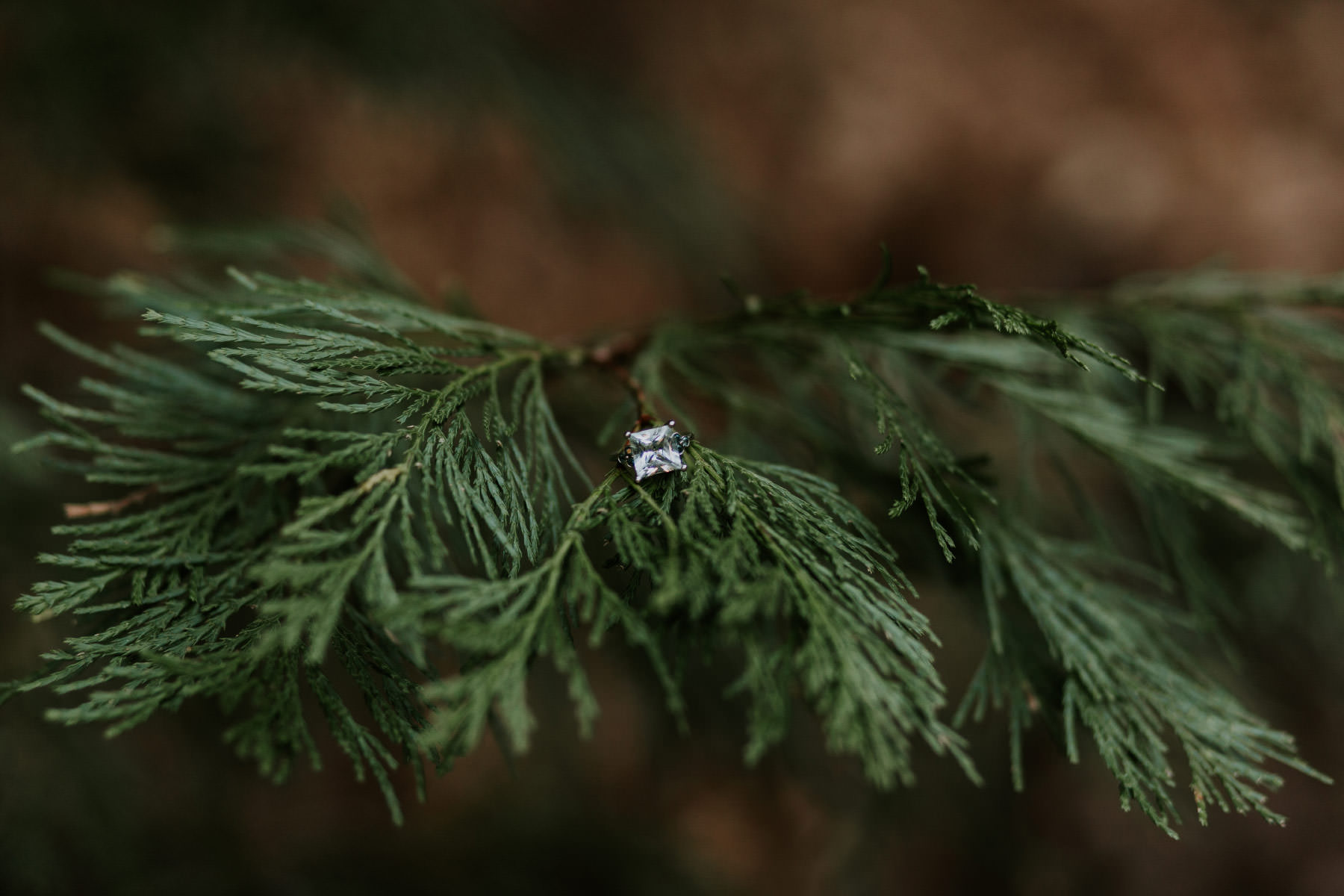 Engagement ring on pine branch at Palomar Mountain