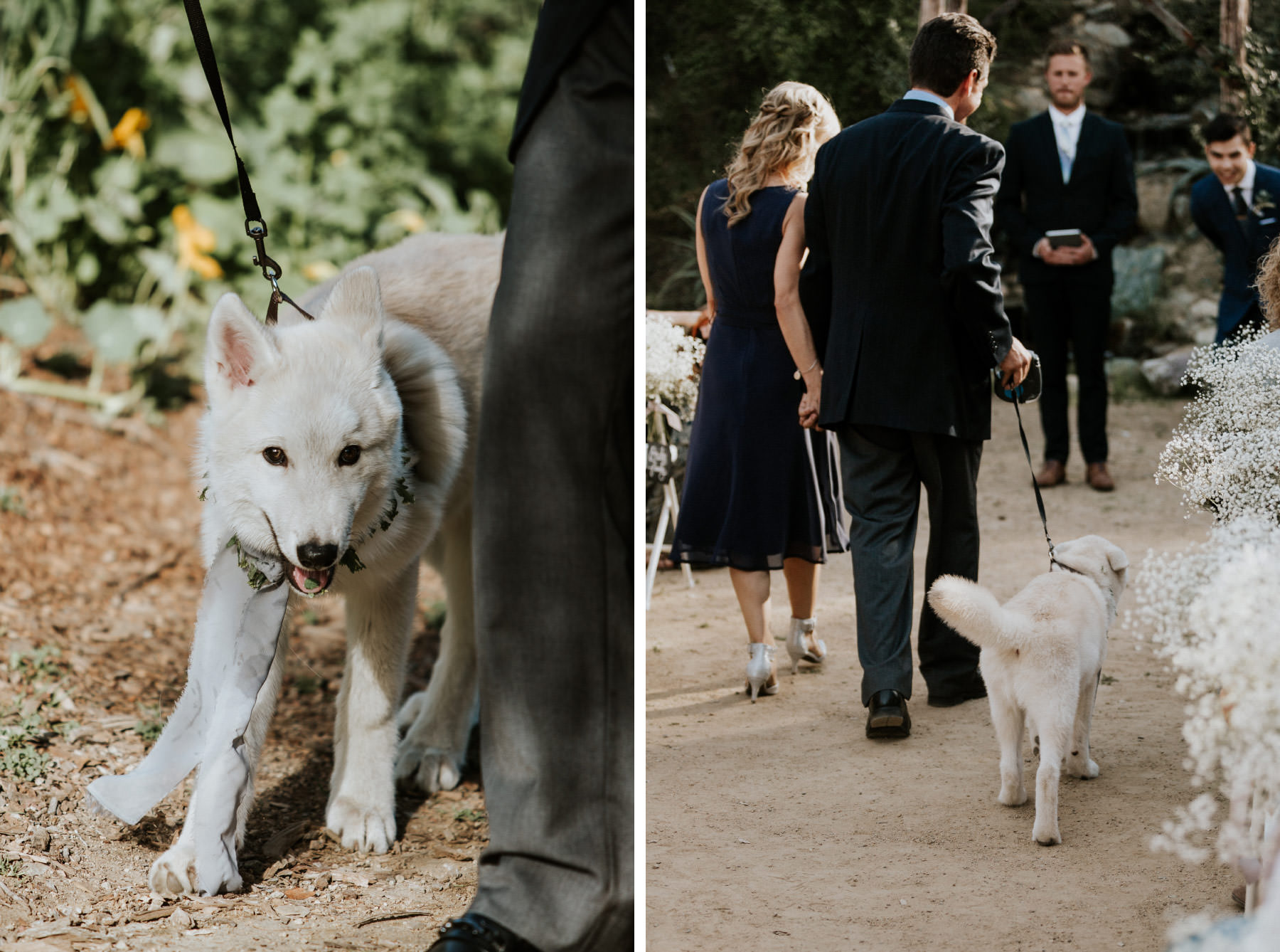 Wolf dog walking down wedding aisle